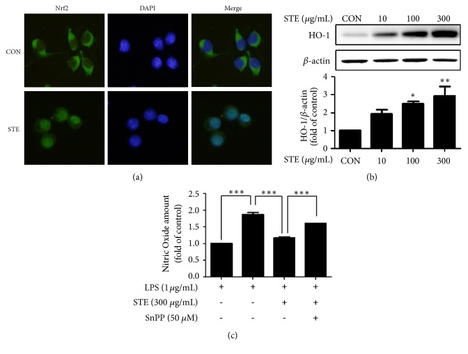 Induction of Nrf2/HO-1 signaling pathway by STE. (a) Immunofluorescence images of the nuclear translocation of Nrf2 induced by STE. RAW 264.7 cells were treated with STE (300 μ g/mL) for 3 h. (b) Induction of HO-1 by STE. RAW 264.7 cells were treated with various concentrations of STE (10, 100, or 300 μ g/mL) for 18 h, lysed, and western blotted. (Significant vs. vehicle-treated control, ∗ p