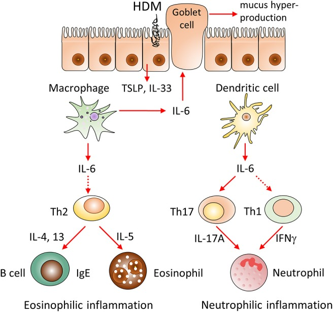 Hypothetical model of the involvement of IL-6 from different cellular sources in the pathogenesis of HDM-induced allergic asthma. We propose that IL-6 produced by macrophages and dendritic cells distinctively promotes HDM-induced airway inflammation. IL-6 produced by macrophages contributes to type 2 allergic inflammation, including eosinophil accumulation, IgE production and mucus hypersecretion via induction of Th2 cells differentiation and production of IL-33, TSLP, IL-4, IL-13 cytokines. In contrast, IL-6 from dendritic cells induces pathogenic accumulation of neutrophils via induction of IL-17A and IFNγ, produced by Th17 and Th1 subsets. Therefore, selective targeting of IL-6 in macrophages or dendritic cells can be beneficial in corresponding eosinophilic and neutrophilic asthma endotypes.