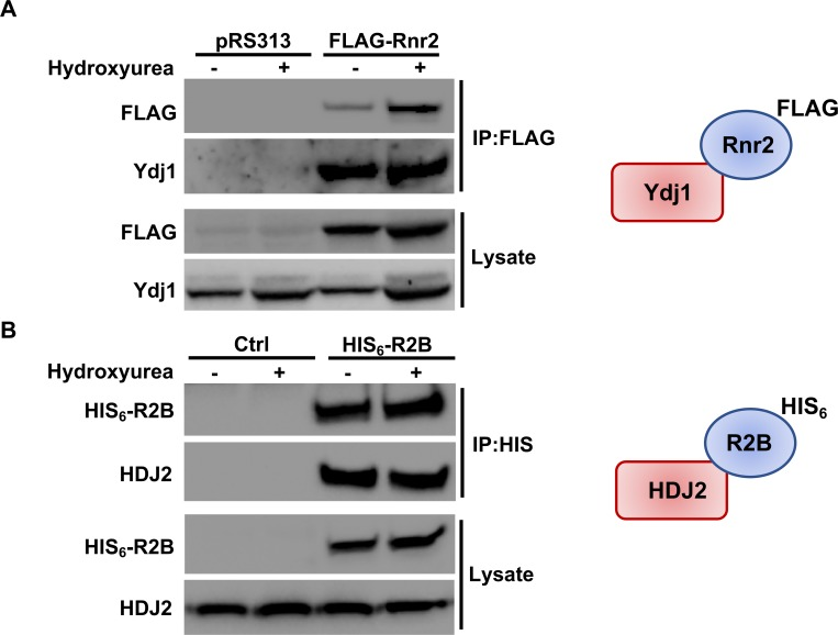 RNR interacts with Hsp40 in yeast and mammalian cells. (A) Rnr2 interacts with Ydj1 in yeast. WT cells transformed with either pRS313 or plasmid expressing FLAG-tagged Rnr2 were grown to exponential phase and were either left untreated or were treated with HU as in Fig 3 . Cell extracts (lysate) and immunoprecipitates (IP) with anti-FLAG M2 magnetic beads were subjected to SDS-PAGE and analyzed by immunoblotting with anti-FLAG antibodies to detect Rnr2 or anti-Ydj1 antibodies to detect Ydj1. (B) R2B interacts with HDJ2 in mammalian cells. HEK293 cells were transfected with a plasmid expressing CMV-driven HIS 6 -tagged R2B. Cells extracts were obtained 48 hours post-transfection. Cell extracts (lysate) and immunoprecipitates (IP) with HIS-dynabeads were subjected to SDS-PAGE and analyzed by immunoblotting with tetra-HIS antibodies to detect R2B or anti-HDJ2 antibodies to detect HDJ2.