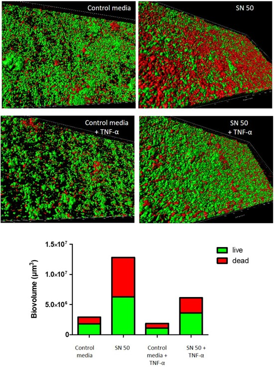 Dynamic model confirmed the impact of osteoblast culture supernatants on S. aureus biofilm formation. Impact of osteoblast culture on biofilm was tested into the flow-through medium of the flow cell apparatus for 24 h. Each panel shows 3D reconstruction by Imaris software after acquisition in confocal microscopy with live (green color)/dead (red color) staining. Bottom panel represents the quantitative data calculated Imaris software based on acquired images. Control media, 50% DMEM + 10% FCS and 50% of minimal media; SN 50, culture with 50% of osteoblast culture supernatants and 50% of minimal media; Control media + TNF-α = 50% DMEM, 10% FCS, 20 ng/ml TNF-α, 50% minimal media; SN 50+TNF-α, culture with 50% of osteoblast culture supernatants exposed to 20 ng/ml of TNF-α and 50% of minimal media.
