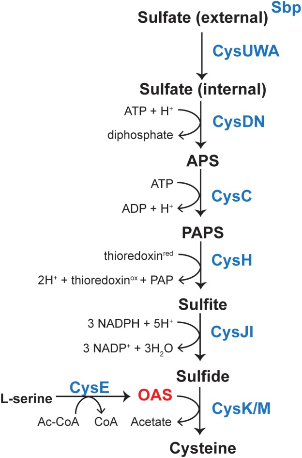 Pathway for biosynthesis of L -Cys in Salmonella enterica. Sulfate is sequestered by the sulfate-binding protein (sbp) and uptake is mediated by the CysUWA sulfate/thiosulfate transporter. The ATP sulfurylase [CysD (catalytic subunit)/CysN (GTP-binding subunit), EC 2.7.7.4] activates sulfate to adenosine 5′-phosphate (APS), which is a substrate for APS kinase (CysC, EC 2.7.1.25). 3-phosphoadenosine 5′-phosphosulfate (PAPS) is reduced to sulfite by the PAPS reductase (CysH, EC 1.8.4.8) and sulfite is reduced to sulfide by a NADPH-sulfite reductase (CysJI, EC 1.8.1.2). A serine acetyltransferase (CysE, EC 2.3.1.30) produces OAS from L -Ser and AcCoA. OAS and sulfide are then substrates for cysteine synthase (CysK, EC 2.5.1.47), which produces L -Cys. Transcription of cysJIH and cysK is upregulated upon binding of CysB and acetyl-serine.