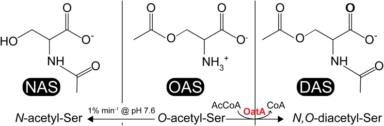 Acetyl-serine analogs: NAS, OAS, and DAS. NAS (left) is thought to be a ligand for CysB, which is produced from non-enzymatic O -to- N intramolecular migration of OAS (center) at ≥pH 7.6 at a rate of 1% min -1 . DAS (right) is produced from acetylation of OAS by the S. enterica OatA N -acetyltransferase.