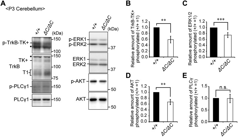 The BDNF-TrkB signaling pathway is impaired in the cerebellum of Pex14 ΔC/ΔC BL/ICR mice at P3. (A) Cerebellum lysates from wild-type (+/+) and Pex14 ΔC/ΔC ( ΔC/ΔC ) BL/ICR mice were analyzed by SDS–PAGE and immunoblotting with antibodies against TrkB, phosphorylated Trk (p-TrkB-TK+, Y496), PLCγ1, phosphorylated PLCγ1 (p-PLCγ1, Y783), ERK, phosphorylated ERK (p-ERK1 and 2, T202 and Y204, respectively), AKT, and phosphorylated AKT (p-AKT, S473). Dots, non-specific bands. (B–E) The amount of phosphorylated TrkB-TK+ to total TrkB-TK+ (B), phosphorylated ERK1/2 relative to total ERK1/2 (C), phosphorylated AKT to total AKT (D), and phosphorylated PLCγ1 to total PLCγ1 (E) were represented (n = 3). ns, not significant, ** P