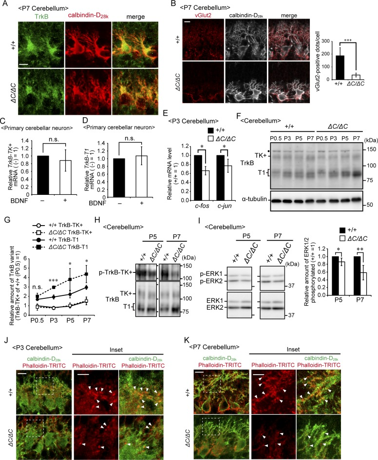 Impaired TrkB signaling in the cerebellum of Pex14 ΔC/ΔC BL/ICR mice. (A) Sagittal sections of the cerebellum of wild-type (+/+) and Pex14 ΔC/ΔC ( ΔC/ΔC ) BL/ICR mice at P7 were stained with anti-TrkB (green) and calbindin-D 28k (red) antibodies. TrkB-positive punctate structures that were observed at P3 ( Fig 6A ) were not detected in the wild-type mouse cerebellum at P7, suggesting that climbing fiber terminals shifted to the Purkinje cell dendritic compartment. Scale bar, 10 μm. (B) Sagittal sections of the cerebellum at P7 were stained with antibodies against vGlut2 (red) and calbindin-D 28k (white). The number of dots stained with anti-vGlut2 antibody was quantified (right panel, n = 4). Scale bar, 10 μm. (C, D) Primary cerebellar neurons from a wild-type mouse at P0.5 were cultured for five DIV and then treated with 50 ng/ml BDNF for two DIV. Levels of TrkB-TK+ (C) and TrkB-T1 (D) mRNAs were determined by real-time PCR (n = 5). (E) Relative mRNA levels of c-fos and c-jun in the cerebellum at P3 were analyzed by real-time PCR (n = 3). (F) Cerebellar lysates of wild-type and Pex14 ΔC/ΔC BL/ICR mice at P0.5, P3, P5, and P7 were analyzed as in Fig 6E . TrkB-TK+, full-length TrkB; TrkB-T1, truncated isoform of TrkB; Dot, a non-specific band. (G) Amounts of TrkB-TK+ and TrkB-T1 were normalized by α-tubulin level and presented relative to those of TrkB-TK+ in control mice at P0.5 (n = 3). (H) Cerebellum lysates from wild-type and Pex14 ΔC/ΔC BL/ICR mice at P5 and P7 were analyzed by SDS–PAGE and immunoblotting with antibodies against TrkB (lower panels) and phosphorylated Trk (p-TrkB-TK+, Y496, upper panels). (I) Total ERK1/2 (lower panels) and phosphorylated ERK1/2 (p-ERK1 and 2, T202, and Y204, respectively, upper panels) at P5 and P7 were analyzed as in Fig 7C . The amount of phosphorylated ERK1/2 relative to total ERK1/2 is represented (P5; n = 3, P7; n = 4). (J, K) Sagittal sections of the cerebellum from wild-type (upper panels) and Pex14 ΔC/ΔC (lower panels) B