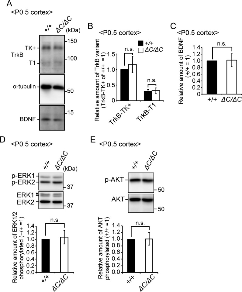 Expressions of TrkB and BDNF were not altered in the cortex of Pex14 ΔC/ΔC mice. (A) Lysates of the cortex from wild-type and Pex14 ΔC/ΔC mice at P0.5 were analyzed by SDS–PAGE and immunoblotting with antibodies against TrkB, α-tubulin, and BDNF. (B) Amounts of TrkB-TK+ and TrkB-T1 were normalized by α-tubulin level and presented relative to those of TrkB-TK+ in wild-type mice at P0.5 (n = 4). (C) Amount of BDNF was normalized by α-tubulin level and presented relative to that in wild-type mice at P0.5 (n = 4). (D, E) Lysates of the cortex from wild-type and Pex14 ΔC/ΔC mice at P0.5 were analyzed as in (A) with antibodies against ERK (D), phosphorylated ERK (p-ERK1 and 2, T202, and Y204, respectively) (D), AKT (E), and phosphorylated AKT (p-AKT, S473) (E). Amounts of phosphorylated ERK1/2 relative to total ERK1/2 (D) and phosphorylated AKT to total AKT (E) were shown on the respective lower panels (n = 4). Dot, a non-specific band. ns, not significant, by t test (B–E). Source data are available for this figure.