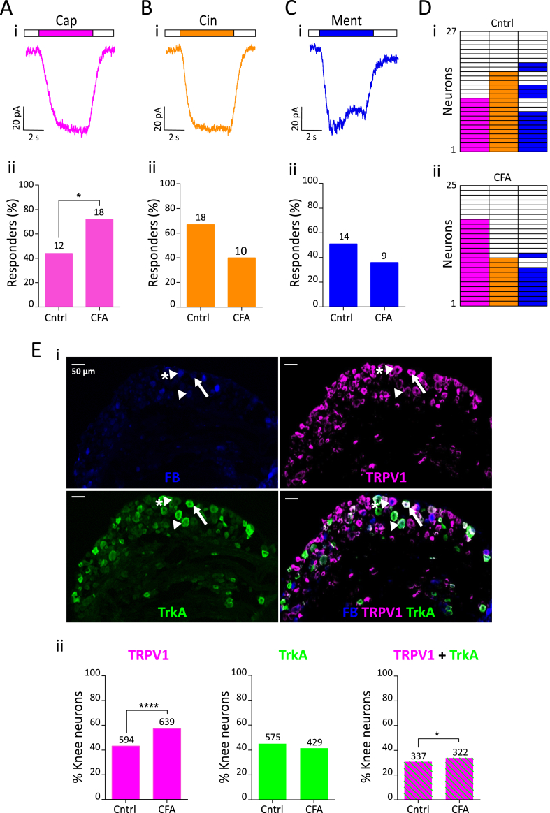 TRP agonist response profile of knee neurons following acute knee inflammation. Representative traces of 10 μM capsaicin (pink, Ai), 100 μM cinnamaldehyde (orange, Bi) and 100 μM menthol (blue, Ci) response from a CFA neuron and their respective percentage frequency (Aii, Bii, Cii). The numbers above the bars indicate the number of responsive neurons. D) Heat map of Cntrl (i, n = 27) and CFA (ii, n = 25) neurons responding to capsaicin, cinnamaldehyde and menthol. E (i) Representative images of a whole DRG section from L4 showing fast blue (FB) labeling from the knee (blue), TRPV1 expression (pink), TrkA expression (green) and a merged image; sections from an animal injected with CFA. White arrowhead shows a knee neuron that only expresses TrkA, white arrowhead with asterisk shows a knee neuron that expresses only TRPV1 and white arrow shows a knee neuron that co-expresses TRPV1 and TrkA. (ii) Proportion of knee neurons (L2-L5) that express TRPV1 (pink), TrkA (green) and both TRPV1 and TrkA (green and pink stripes) from Cntrl (n = 1334) and CFA (n = 1089) injected side. Numbers above the bars represent neurons stained positive with respective antibodies. * indicates p