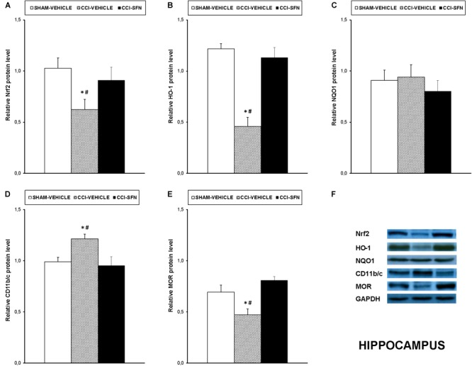Effects of SFN on the expression of Nrf2, HO-1, NQO1, CD11b/c, and MOR in the hippocampus from animals with neuropathic pain. Effects of repetitive treatment with 10 mg/kg SFN or vehicle from days 14 to 28 after sciatic nerve injury (CCI) on Nrf2 (A) , HO-1 (B) , NQO1 (C) , CD11b/c (D) , and MOR (E) protein expression in the hippocampus from CCI-induced neuropathic pain in mice are represented. The protein levels from Sham-operated (SHAM) mice treated with vehicle has been also represented as controls. Examples of western blots for Nrf2 (75 kDa), HO-1 (32 kDa), NQO1 (28 kDa), CD11b/c (160 kDa), and MOR (50 kDa) proteins in which GAPDH (36 kDa) was used as a loading control are also shown (F) . In all panels, ∗ indicates significant differences vs. Sham vehicle treated mice and # indicates significant differences vs. CCI plus SFN treated mice ( P