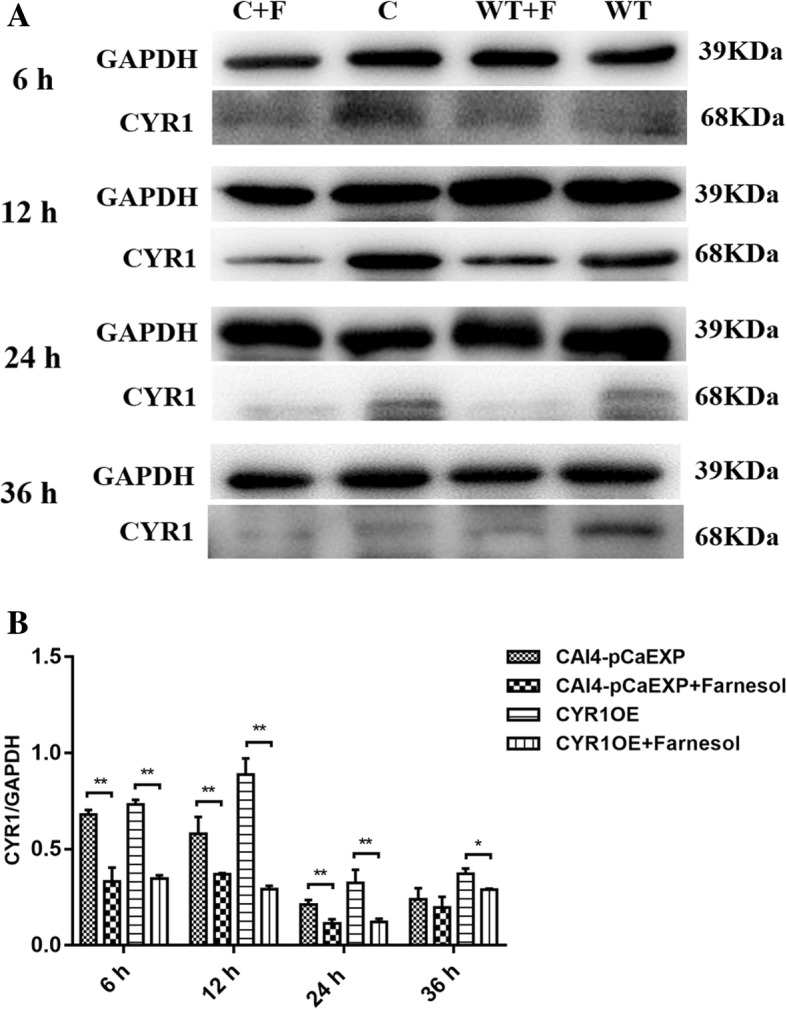 The expression of CYR1 protein in C. albicans biofilms. A: WT: Farnesol untreated wild strain (CAI4-pCaEXP); WT + F: Farnesol treated wild strain (CAI4-pCaEXP); C: Farnesol untreated CYR1 -overexpressing strain (CYR1OE); C + F: Farnesol treated CYR1 -overexpressing strain (CYR1OE). a and b: Farnesol decreased the expression of CYR1 of the CAI4-pCaEXP strain at 12, 24 and 36 h biofilm phases and decreased the expression of CYR1 of the CYR1OE strain at 6, 12 and 24 h biofilm phases compared to the respective untreated controls. Shown are means ± standard deviation of three independent experiments performed in duplicate. One-way analysis of variance (ANOVA) was employed to assess the statistical significance of differences in matched groups, while paired t-tests were performed for intra-group comparisons. *: p