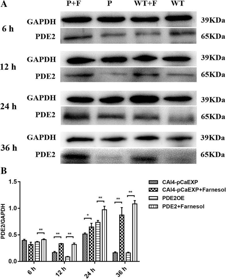 The expression of PDE2 protein in C. albicans biofilms. a: WT: Farnesol untreated wild strain (CAI4-pCaEXP); WT + F: Farnesol treated wild strain (CAI4-pCaEXP); P: Farnesol untreated PDE2 -overexpressing strain (PDE2OE); P + F: Farnesol treated PDE2 -overexpressing strain (PDE2OE). a and b: Farnesol increased the expression of PDE2 of the CAI4-pCaEXP strain at 12, 24 and 36 h biofilm phases and increased the expression of PDE2 of the PDE2OE strain at 6, 12, 24 and 36 h biofilm phases compared to the respective untreated controls. Shown are means ± standard deviation of three independent experiments performed in duplicate. One-way analysis of variance (ANOVA) was employed to assess the statistical significance of differences in matched groups, while paired t-tests were performed for intra-group comparisons. *: p