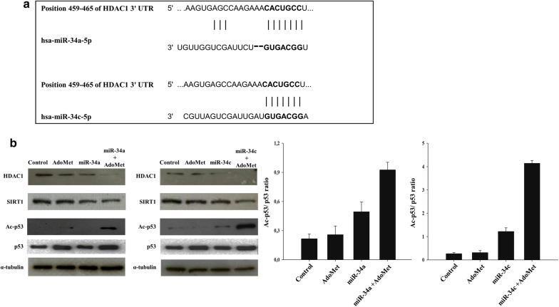 Effect of AdoMet and miR-34a mimic or miR-34c mimic on the HDAC1, SIRT1 and p53 expression levels. a Alignment of miR-34a and miR-34c with HDAC1 3′UTR obtained from miRNA-mRNA integration analysis using the TargetScan microRNA target prediction software. b Cells were transfected with miR-34a and miR-34c mimic or inhibitor, in the presence or not (Control) of 500 μMAdoMet for 72 h. Then, 10 μg of cell lysates were subjected to SDS-PAGE, incubated with antibodies against the indicated proteins and analyzed by Western blotting. The housekeeping protein α-tubulin was used as loading control. Graphs show the densitometric intensity of Ac-p53/p53 band ratio. The intensities of signals were expressed as arbitrary units. The images are representative of three immunoblotting analyses obtained from at least three independent experiments. Bars, SDs
