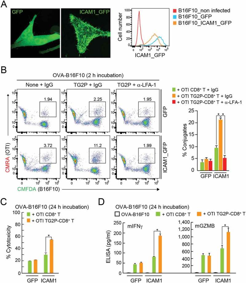 Overexpression of ICAM-1 in B16F10 cells restored the adhesion and cytokine release of TG2P-CD8 + T cells. (a) GFP + B16F10 and ICAM-1_GFP + B16F10 cells. The expression pattern of GFP or ICAM-1_GFP was determined in each cell line by flow cytometry and confocal microscopy. (b) Conjugate formation. OTI non-CD8 + T or OTI TG2P-CD8 + T cells (1 × 10 6 ) were incubated for 2 h with GFP + B16F10 or ICAM-1_GFP + B16F10 cells (1 × 10 6 ) in the presence of OVA peptides, and the percentages of conjugates were then determined by flow cytometry (left). The results are presented as bar graphs (right). In some cases, control IgG or anti-LFA-1 antibodies were used. Data are representative of at least three independent experiments. * P