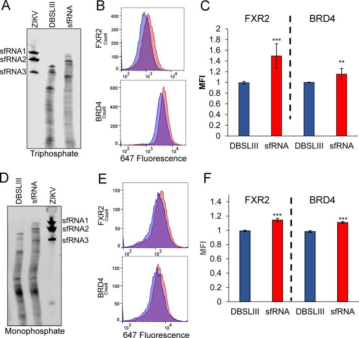 ZIKV sfRNA increases expression of FXR2 and BRD4 in the absence of infection. Electroporated 5′ triphosphate ( A ) or monophosphate ( D ) RNAs were analyzed by northern blot, 48 hr after electroporation. Total RNA from cells infected with ZIKV-Puerto Rico was analyzed to visualize the presence of sfRNA1, sfRNA2 and sfRNA3. The expression levels of FXR2 and BRD4 were evaluated by flow cytometry in cells electroporated with 5′ triphosphate ( B,C ) or monophosphate ( E,F ) RNAs. Mean fluorescence intensities (MFI) in presence of the mutant control DBSLIII (blue) and sfRNA (red) are shown. Plots in C and F represent the mean ±SD of four and two independent experiments, respectively. (*p