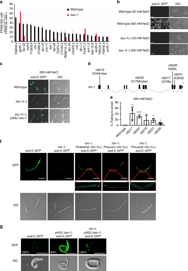 The nuclear hormone receptor NHR-1 is required for SSU-1 to promote the transcriptional response to osmotic stress. a Average fold change in mRNA expression in wild-type and ssu-1(fc73) mutant embryos at 500 mM NaCl as compared to 50 mM NaCl measured by RNA-seq (FPKM 500 mM NaCl/FPKM 50 mM NaCl + 1). Shown are the 25 genes that exhibited the greatest increase in expression in wild-type animals at 500 mM NaCl vs. 50 mM NaCl. n = 3 replicates. Error bars, s.d. b Confocal and differential interference contrast (DIC) images showing Psod-5::gfp expression in wild-type and ssu-1(fc73) L1-stage mutants exposed to 500 mM NaCl for 24 h. Scale bars, 100 µm. c Confocal and DIC images of Psod-5::GFP expression in wild-type, ssu-1(fc73) , and ssu-1(fc73); ssu-1( + ) L1-stage mutants exposed to 500 mM NaCl for 24 h. The trx-1 promoter was used to drive ASJ cell-specific expression of SSU-1. Scale bars, 100 µm. d Schematic of nhr-1 mutations that cause defects in developmental arrest in response to osmotic stress. Scale bar, 100 bp. fs: frameshift. Numbers represent amino acid numbers. e Percent of nhr-1 mutants failing to arrest development in response to 500 mM NaCl. n = 3 experiments, each with more than 100 animals. Error bars, s.d. f Representative confocal and DIC images of Psod-5::GFP expression in wild-type and nhr-1(n6242) mutant dauers. The ges-1 promoter was used to drive intestine-specific expression, the rab-3 promoter was used to drive neuron-specific expression, and the unc-54 promoter was used to drive muscle-specific expression. Scale bar, 100 µm. g Representative confocal and DIC images of Psod-5::GFP expression in wild-type and nhr-1(n6242) L1-stage animals. The trx-1 promoter was used to drive ASJ cell-specific expression of SSU-1. Animals expressed GFP specifically in coelomocytes under the control of the unc-122 promoter as a co-injection marker. %, percent of animals that expressed GFP as in the representative image shown. Scale bar, 100 µm. * p