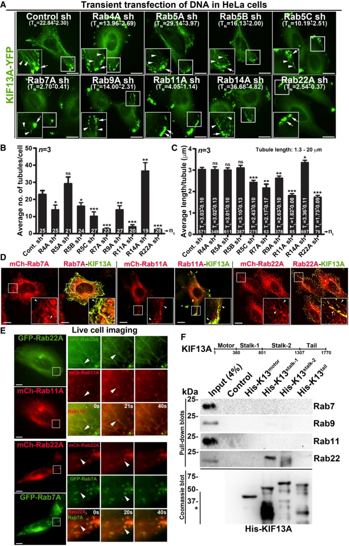 Selected endosomal Rab RNA i screen identified Rab22A as a regulator of RE dynamics IFM images of KIF13A‐YFP‐transfected control and Rab‐knockdown HeLa cells. T N : average tubule number (mean ± SEM, n = 3). Graphs represent the measurement of KIF13A‐positive T N (B) and T L (C) in HeLa cells of Fig 1 A (mean ± SEM). n = 3. n c : total number of cells. n t : total number of tubules. * P ≤ 0.05, ** P ≤ 0.01, *** P ≤ 0.001 and ns = not significant (unpaired Student's t ‐test). IFM images of KIF13A‐YFP and mCherry‐Rab7A/11A/22A‐transfected HeLa cells. Live cell imaging of GFP/mCherry‐Rab22A with respect to mCherry‐Rab11A or GFP‐Rab7A in HeLa cells. Magnified view of insets (at 0, 20, 40 s) are shown separately. Pull‐down of different His‐KIF13A domains using HeLa cell lysate and then probed with indicated Rab proteins. The bead‐bound His‐KIF13A in each pull‐down was shown on the Coomassie‐stained gel. *, non‐specific bands. Note, part of this experiment was shown in Fig 5 F. Data information: In (A, D, E), arrowheads and arrows point to the KIF13A‐/Rab22A‐positive tubular REs and E/SEs, respectively. Scale bars: 10 μm.