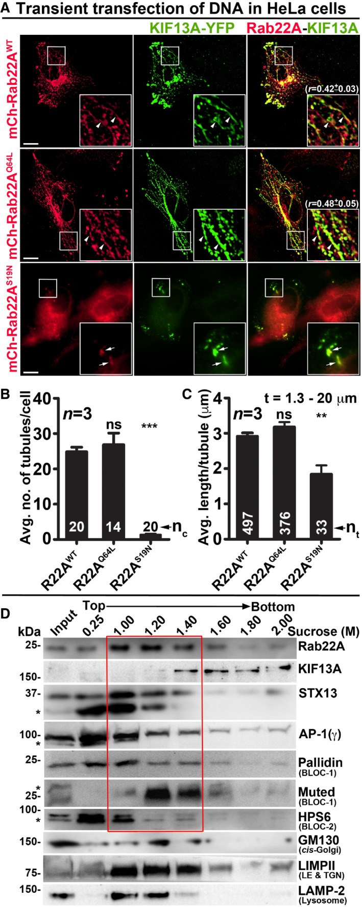 Rab22A localizes to the E/ SE and RE s and regulates RE dynamics IFM images of KIF13A‐YFP and mCherry‐Rab22A WT/Q64L/S19N cotransfected HeLa cells. Arrowheads and arrows point to the KIF13A‐positive tubular REs and E/SEs, respectively. The colocalization coefficient ( r , in mean ± SEM) between two markers was indicated separately. Scale bars: 10 μm. Graphs represent the measurement of KIF13A‐positive T N (B) and T L (C) in HeLa cells of Fig 2 A (mean ± SEM). n = 3. n c : total number of cells. n t : total number of tubules. ** P ≤ 0.01, *** P ≤ 0.001 and ns = not significant (unpaired Student's t ‐test). Subcellular fractionation of HeLa cells to probe the localization of Rab22A (red box) with respect to other organelle‐specific proteins. *, non‐specific bands.