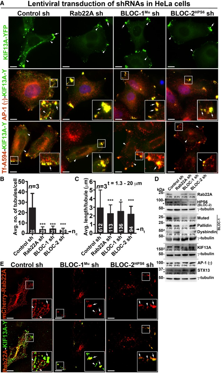 Rab22A functions upstream in the pathway of BLOC ‐1 and BLOC ‐2 and regulates RE dynamics IFM images of KIF13A‐YFP‐transfected control and Rab22A‐, BLOC‐1 Mu ‐, BLOC‐2 HPS6 ‐knockdown HeLa cells. Cells were stained for AP‐1 (γ) or internalized with Tf‐Alexa Fluor 594. Graphs represent the measurement of KIF13A‐positive T N (B) and T L (C) in HeLa cells of Fig 3 A (mean ± SEM). n = 3. n c : total number of cells. n t : total number of tubules. * P ≤ 0.05 and *** P ≤ 0.001 (unpaired Student's t ‐test). Immunoblotting analysis of proteins in control and Rab22A‐, BLOC‐1‐, BLOC‐2‐depleted HeLa cells. *, non‐specific bands. Protein band intensities were quantified and indicated on the gels. IFM images of mCherry‐Rab22A and KIF13A‐YFP cotransfected control and BLOC‐1 Mu ‐, BLOC‐2 HPS6 ‐knockdown HeLa cells. Data information: In (A, E), arrowheads and arrows point to the KIF13A‐/Rab22A‐positive tubular REs and E/SEs, respectively. Scale bars: 10 μm.
