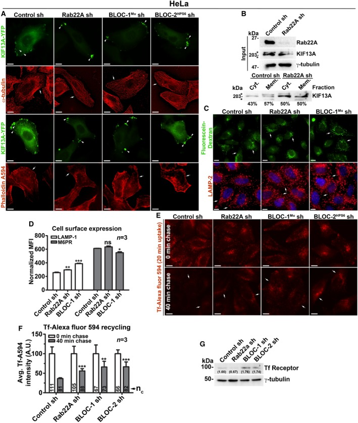 Analysis of cargo recycling in control and Rab22A‐, BLOC ‐1‐, BLOC ‐2‐knockdown HeLa cells IFM images of KIF13A‐YFP‐transfected control and knockdown HeLa cells as indicated. Arrowheads point to the localization of KIF13A to E/SEs or REs. Membrane‐cytosol fractionation of HeLa cell homogenate for the localization of KIF13A. *, non‐specific bands. IFM images of control and Rab22A‐, BLOC‐1‐knockdown HeLa cells that were stained with LAMP‐2 or internalized with fluorescein–dextran. Cell surface levels of LAMP‐1 and M6PR in control and Rab22A‐, BLOC‐1‐knockdown HeLa cells measured using flow cytometry. Normalized mean fluorescence intensity (MFI) was calculated (mean ± SEM) and then plotted. n = 3. IFM images of HeLa cells that were subjected to Tf‐Alexa Fluor 594 recycling kinetics. Fluorescence intensities Tf in the images of (E) were quantified and plotted (mean ± SEM). n = 3. n c = total number of cells. Immunoblotting analysis of Tf receptor in HeLa cells as indicated. Protein band intensities were quantified and indicated on the gels. Data information: In (A, C, E), arrows point to the localization of cytoskeletal proteins (A) or internalized dextran or lysosomes (C) or accumulation of Tf to the intracellular vesicles (E). Scale bars: 10 μm. In (D, F), * P ≤ 0.05, ** P ≤ 0.01, *** P ≤ 0.001 and ns = not significant (unpaired Student's t ‐test).