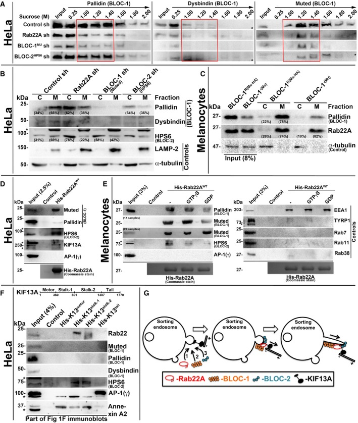 Rab22A regulates membrane association of BLOC ‐1 and BLOC ‐2, and forms a complex with BLOC ‐1‐ BLOC ‐2‐ KIF 13A Subcellular membrane fractionation of control and Rab22A‐, BLOC‐1‐, BLOC‐2‐knockdown HeLa cells and probed the fractions for pallidin, dysbindin and muted. Red coloured box emphasizes BLOC‐1 membrane association in the respective cell types. Membrane‐cytosol fractionation of homogenates from HeLa cells (B) or melanocytes (C) as indicated. Protein band intensities were quantified and indicated the percentage membrane association on the gels. Pull‐down of His‐Rab22A WT using HeLa (D) or melanocyte (E) lysate. In (E), the beads were preloaded with GTPγS or GDP. Pull‐down of different His‐KIF13A domains using HeLa cell lysate. Model illustrating the recruitment (left) and association (middle) of Rab22A, BLOC‐1 and BLOC‐2 in a sequential manner onto the membrane buds of E/SEs followed by interaction with KIF13A motor. Rab22A‐BLOC‐1‐BLOC‐2 complex possibly extends the membrane buds into RE tubules with KIF13A motor (right) movement on microtubules. Data information: In (A–F), * indicates non‐specific bands. In (D–F), the bead‐bound His‐Rab22A/His‐KIF13A domains were shown on the Coomassie‐stained gels separately or in Fig 1 F.