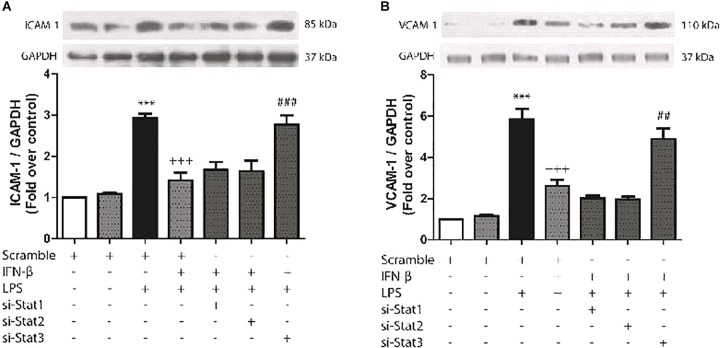 IFN-β decreases LPS-induced ICAM-1/VCAM-1 expression through STAT3. (A–B) CF were transfected with scramble or 200 ng of si-STAT1, si-STAT2, and si-STAT3 for 8 h, serum-deprived for 24 h, pretreated with IFN-β (500 U/ml) for 1 h, and stimulated with LPS (1 μg/ml) for 8 h. (A) The upper panel shows a representative Western blot image, indicating expression levels of ICAM-1 and GAPDH (used as charge control). The graphical analysis is presented at the bottom of each panel. Error bars indicate the SD for three independent experiments. ∗∗∗ p