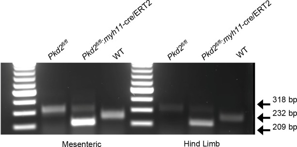 Genotyping of mouse lines. Ethidium bromide gel illustrating PCR products in vasculature of C57BL/6J (WT) mice and tamoxifen-treated Pkd2 fl/fl and Pkd2 fl/fl :myh11cre/ERT2 mice.