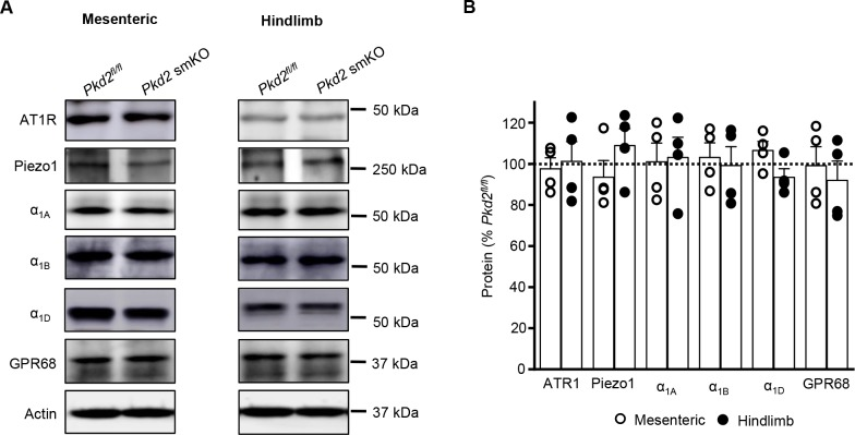 Several proteins that regulate arterial contractility are unchanged in tamoxifen-treated Pkd2 fl/fl :myh11-cre/ERT2 mice. ( A ) Western blots illustrating Angiotensin II type one receptor (AT1R), Piezo1, α1-adrenergic receptor A (α1A), α1-adrenergic receptor B (α1B), α1-adrenergic receptor D (α1D) and G protein-coupled receptor 68 (GPR68) protein levels in mesenteric and hindlimb arteries of Pkd2 fl/fl and Pkd2 fl/fl :myh11-cre/ERT2 mice. ( B ) Mean data from mesenteric and hindlimb arteries (n = 4 per group).