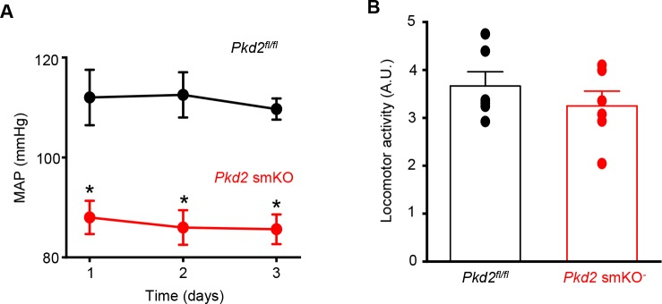 Lower blood pressure is sustained in Pkd 2 smKO mice. ( A ) Mean arterial blood pressure (MAP) in Pkd 2 smKO and Pkd2 fl/fl mice (n = 6 per group). * indicates p