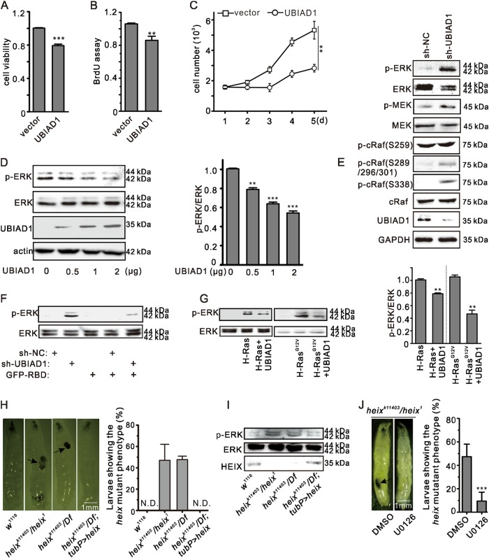 UBIAD1 inhibits the Ras/ERK signaling pathway. a UBIAD1 reduced cell viability in T24 bladder cancer cells. T24 cells were transiently transfected with <t>pcDNA3.1-UBIAD1</t> plasmid. Twenty-four hours after transfection, cell viability was detected by the MTT assay. *** p