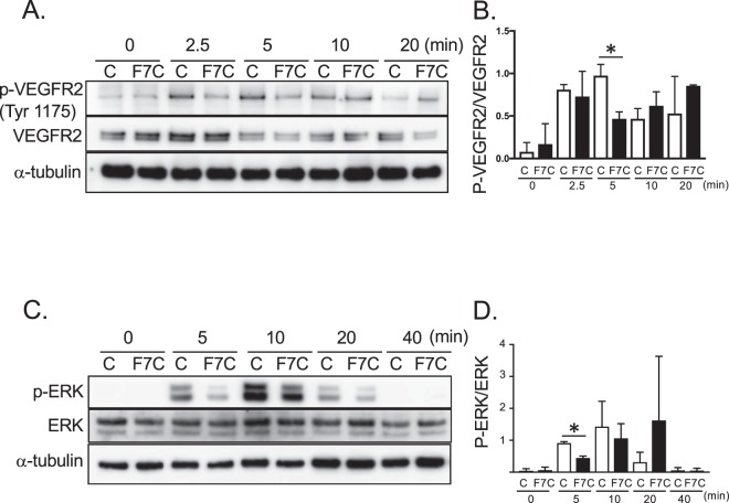 Fbln7-C inhibits <t>VEGFR2</t> phosphorylation and ERK phosphorylation in the VEGF-VEGFRs signaling pathway. ( A , B ) VEGFR2 Tyr1175, and ( C , D ) ERK phosphorylation levels with Fbln7-C (100 µg/ml) pretreatment and after VEGF (5 ng/ml) stimulation were confirmed by western blotting. C: control, F7C: Fbln7-C *P