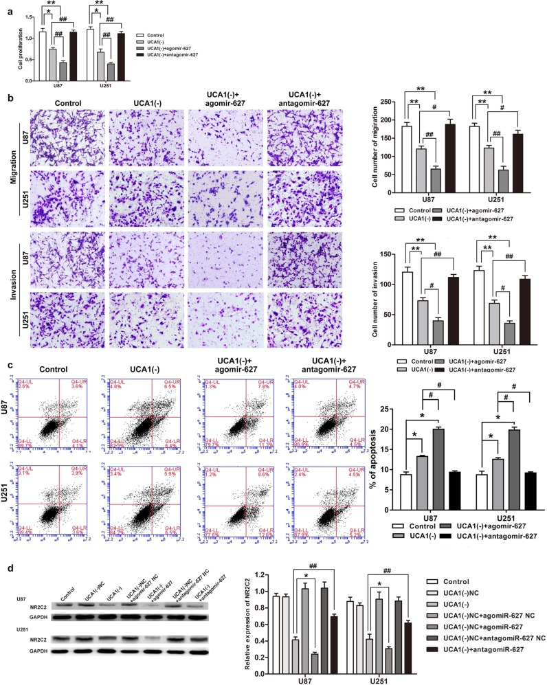 MiR-627-5p mediated the tumor-suppressive effects of UCA1 knockdown on glioma cell lines. a Cell Counting Kit-8 (CCK-8) assay was used to measure the effect of UCA1 and miR-627-5p on cell proliferation in U87 and U251 cells. b Transwell assay was used to evaluate the effect of UCA1 and miR-627-5p on cell migration and invasion of U87 and U251 cells. c Flow cytometry analysis was used to evaluate the effect of effect of UCA1 and miR-627-5p on cell apoptosis of U87 and U251 cells. Error bars represent as the mean ± SD ( n = 3, each group). * P