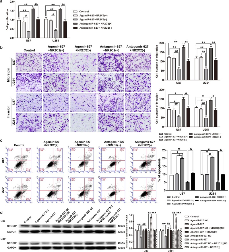 Interplay of NR2C2 and miR-627-5p. a Cell Counting Kit-8(CCK8) assay to evaluate the effect of miR-627-5p and NR2C2 on cell proliferation in U87 and U251 cells. b Transwell assay to evaluate the effect of miR-627-5p and NR2C2 on cell migration and invasion of U87 and U251 cells. c Flow cytometry analysis to evaluate the effect of miR-627-5p and NR2C2 on cell apoptosis of U87 and U251 cells. Error bars represent as the mean ± SD ( n = 3, each group). * P
