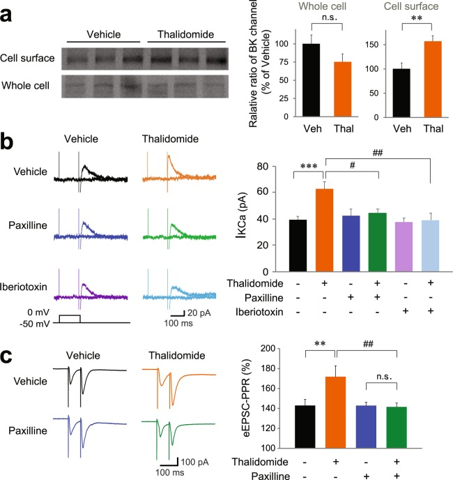 Thalidomide treatment increases BK channel activity and reduces presynaptic glutamate release probability. ( a ) Surface expression of BK channels increased in thalidomide-treated hippocampal slices. Hippocampal slices prepared from vehicle (Veh) and thalidomide (Thal)-treated mice were used for steady-state biotinylation of surface BK channels. Input (25%) of total lysates are shown in the bottom panel, and the biotinylated surface BK channels are shown in the top panel. The quantification of biotinylated BK channels and total BK channels is presented as mean ± SEM. n = 6. ( b ) The increase in calcium-activated potassium currents (I K(Ca) ) in hippocampal CA1 pyramidal neurons due to a 3 h incubation with 100 μM thalidomide was reduced by bath-application of 10 μM paxilline or 100 nM iberiotoxin. I K(Ca) was evoked by brief depolarization from the holding potential (−50 mV) under a TTX-including external solution. n = 32 slices, 9 mice (vehicle); n = 42, 7 (thalidomide); n = 17, 5 (paxilline); n = 19, 5 (thalidomide + paxilline); n = 12, 4 (iberiotoxin); n = 12, 4 (thalidomide + iberiotoxin). ( c ) Paxilline (10 μM) abolishes the increased paired-pulse ratio (PPR, 50 ms inter stimulus interval) at SC-CA1 synapses in mouse hippocampal slices initially incubated with 100 μM thalidomide for at least 3 h. n = 22, 5 (vehicle); n = 19, 6 (thalidomide); n = 29, 4 (paxilline); n = 20, 3 (thalidomide + paxilline). # P
