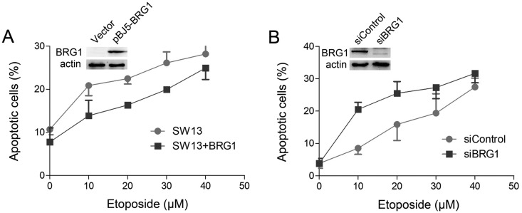 BRG1 depletion increases the percentage of apoptotic cells induced by ETO treatment. (A) SW13 cells were transfected with the pBJ5 empty vector or pBJ5-BRG1. Forty-eight hours later, the cells were treated with the indicated concentrations of ETO for 20 min, and apoptotic cells were detected by flow cytometry 24 h later. The percentage of apoptotic cells was analyzed by GraphPad 6. (B) U2OS cells were transfected with control siRNA or BRG1 siRNA for 48 h. Then, the cells were treated with the indicated concentrations of ETO for 20 min, and apoptotic cells were detected by flow cytometry 24 h later. The percentage of apoptotic cells was analyzed by GraphPad 6. The expression of BRG1 was analyzed by western blotting.