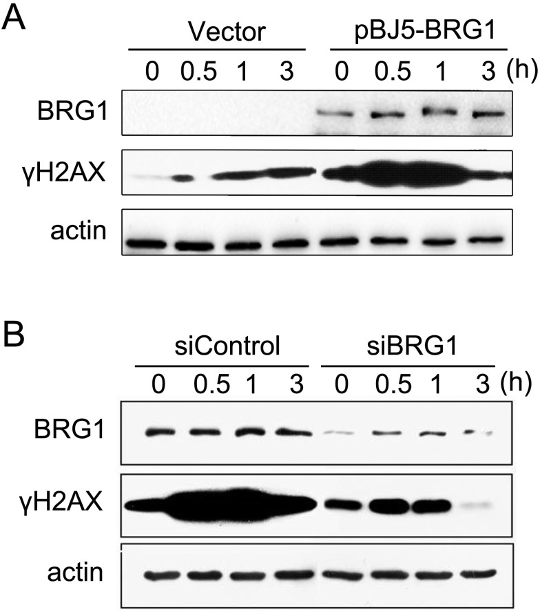 BRG1 promotes H2AX phosphorylation. (A) SW13 cells were transfected with the pBJ5 vector or pBJ5-BRG1 plasmids for 48 h. Then, the cells were treated with 10 μM ETO for 20 min and allowed to repair for the indicated time. The whole cell lysates were detected by western blotting with the indicated antibodies. (B) U2OS cells were transfected with control siRNA or BRG1 siRNA for 48 h. Then, the cells were treated with 10 μM ETO for 20 min and allowed to repair for the indicated time. The whole cell lysates were detected by western blotting with the indicated antibodies.