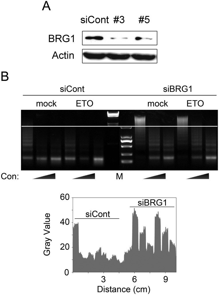 Loss of BRG1 protects chromatin from MNase digestion. (A) U2OS cells were transfected with control or two BRG1 siRNAs (#3 and #5). Forty-eight hours later, the cells were lysed and detected by western blotting with BRG1 and actin antibodies. (B) U2OS cells were transfected with siRNA #3 for 48 h. Then, the cells were treated with 10 μM ETO or not for 20 min. One hour later, the nuclei were digested with 2 U, 5 U or 10 U MNase for 5 min at room temperature. The MNase-treated nucleosomal DNA was resolved on 1% agarose gels and visualized with ethidium bromide (upper panel). The quantification of the DNA amount marked by the white line is shown in the lower panel. siCont: control siRNA. siBRG1: BRG1 siRNA. Con: concentration.