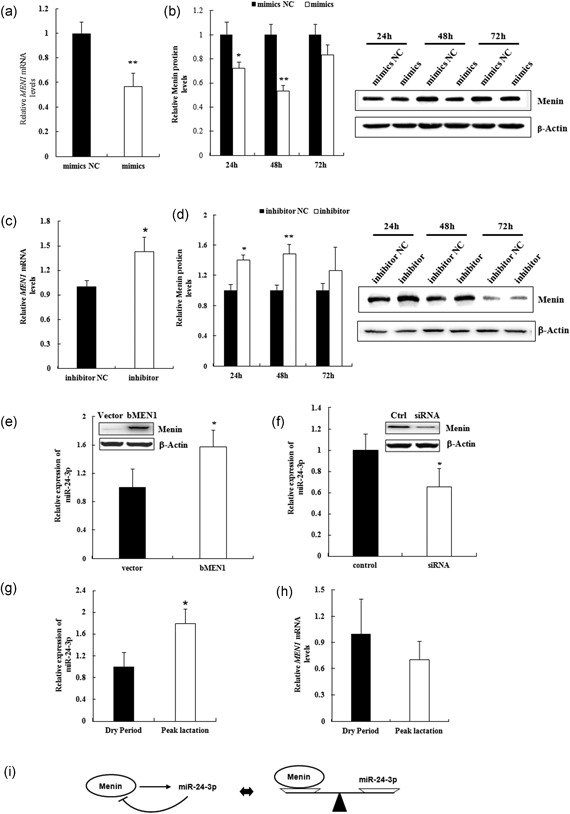 MiR‐24‐3p and MEN1 act in a negative feedback model. (a–d) Mammary epithelial cells were transfected with miR‐24‐3p mimics/mimics NC (mimics/mimics NC; a and c) and/or miR‐24‐3p inhibitor/inhibitor NC (inhibitor/ inhibitor NC; b,d), and cells were harvested for RNA and protein extraction at 24, 48, and 72 hr after transfection. The expression of bovine MEN1 mRNA at 24 hr (a,c) and protein menin in a time course (b,d) were assessed using qRT‐PCR and western blot technology, respectively. Representative WB images of the expression of protein menin at 24, 28, and 72 hr after transfection of indicated miR‐24‐3p are shown. The data are shown as the relative expression levels normalized to the internal control, β‐actin. * p