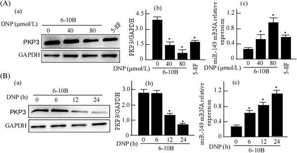 Expressions of PKP3 and miR‐149 in 6‐10B cells with DNP treatment. A, 6‐10B cells were treated with the indicated concentration of DNP for dose‐course. B, 6‐10B cells were treated with DNP for the indicated time for time‐course. PKP3 in the treated cells was detected using Western‐blotting (a). GAPDH was used as an internal control. The abundance ratio of PKP3 to GAPDH was counted for PKP3 quantitative analysis (b), and miR‐149 expression was detected using qRT‐PCR (c). DNP, Dinitrosopiperazine; PKP3, Plakophilin3. * P