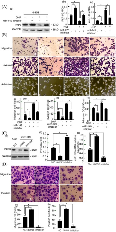 DNP‐induced NPC cell migration, invasion, and adhesion through miR‐149. A, 6‐10B cells were treated with miR‐149‐inhibitor and/or DNP, PKP3 expressions in the treated cells were detected using Western‐blotting (a), GAPDH was used as an internal control. The abundance ratio of PKP3 to GAPDH was counted (b), and miR‐149 expression was detected using qRT‐PCR (c). B, The migration (a‐d) and invasion (e‐h) of the treated 6‐10 cells were detected using Boden chamber assay, and the adhesion (i‐k) was detected using Cell adhesion assay. a, e, and i, Blank control; b, f, and j, miR‐149‐inhibitor treatment; c, g, and k, DNP treatment; d, h, and l, DNP plus miR‐149‐inhibitor. Cell migration (m), invasion (n), and adhesion (o) was quantitatively analyzed. C, 5‐8F cells were treated with mimic or miR‐149‐inhibitor. PKP3 in the treated cells was detected using Western‐blotting (a) and quantitatively analyzed (b), and miR‐149 mRNA were detected using qRT‐PCR (c). D, Migration (a‐c) and invasion (d‐f) of the treated 5‐8F cells were measured using Boden chamber assay. a and d, Blank control; b and e, Mimic treatment; c and f, miR‐149‐inhibitor. Data are presented as means ± S.D. from three independent experiments statistically using the Student's t test. Scale bar, 5 μm; Original magnification, ×200. NC, Non‐targeting control; DNP, Dinitrosopiperazine; PKP3, Plakophilin3. * P