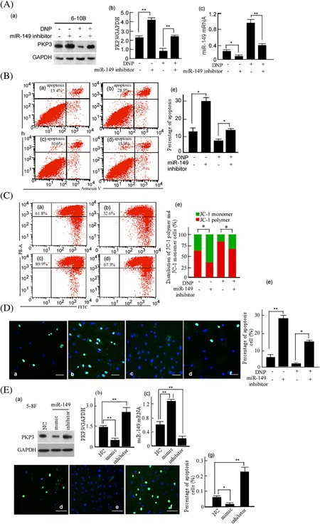 Cell apoptosis of 6‐10B cells treated with miR‐149 and DNP. A, 6‐10B cells were treated with miR‐149‐inhibitor and/or DNP, PKP3 expressions were detected using Western‐blotting (a). GAPDH was used as an internal control. The abundance ratio of PKP3 to GAPDH was counted (b), and miR‐149 mRNA was detected using qRT‐PCR (c). B, The treated cells were stained with Annexin V/PI staining, and then analyzed with flow cytometry. The apoptotic cells were counted. a, Blank control; b, Treatment with miR‐149‐inhibitor; c, Treatment with DNP; d, Treatment with miR‐149‐inhibitor plus DNP; e, Apoptosis rates of the treated cells were compared. C, The treated cells were stained with PEA/FITC staining, and Δψm in the treated cells was detected with flow cytometry. JC‐1 monomer cells and JC‐1 polymer cells were respectively counted. a, Blank control; b, Treatment with miR‐149‐inhibitor; c, Treatment with DNP; d, Treatment with miR‐149‐inhibitor plus DNP; e, JC‐1 monomer and JC‐1 polymer were compared. D, The treated 6‐10B cells were stained with TUNEL kit, the positive cells were counted. a, Blank control; b, Treatment with miR‐149‐inhibitor; c, Treatment with DNP; d, Treatment with miR‐149‐inhibitor plus DNP; e, Apoptosis cells were comparatively analyzed. E, 5‐8F cells were treated with miR‐149 mimic or its inhibitor. PKP3 expression (a) and miR‐149 mRNA (c) in the treated cells were detected, PKP3 expression was quantitatively compared (b). The treated cells were stained with FITC, apoptosis cells were detected. d, Blank control; e, Mimic; f, miR‐149‐inhibitor. Data are presented as means ± S.D. from three independent experiments statistically using the Student's t test. Scale bar, 10 μm; DNP, Dinitrosopiperazine; PKP3, Plakophilin3; Original magnification, ×400.* P