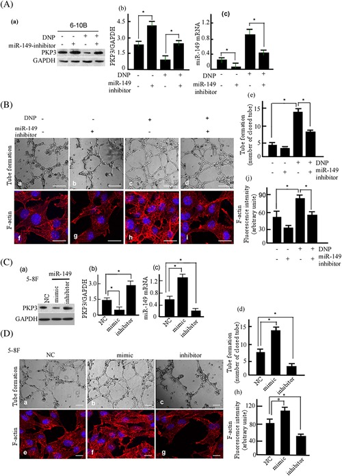 Tube formation and F‐actin expression in 6‐10B cells treated with miR‐149 and DNP. A, 6‐10B cells were treated with miR‐149‐inhibitor and/or DNP. PKP3 expressions were detected using Western‐blotting (a). GAPDH was used as an internal control. The abundance ratio of PKP3 to GAPDH was counted (b). miR‐149 mRNA was detected using qRT‐PCR (c). B, Tube information of the treated cells was detected with the tube formation assay (a–d). The tubular structures formed in the matrigel were counted (e). a, Blank control; b, Treatment with miR‐149‐inhibitor; c, Treatment with DNP; d, Treatment with miR‐149‐inhibitor plus DNP; e, Tube formation was quantitively analyzed (e). scale bar, 5 μm; Original magnification, ×200. The treated cells were stained with F‐actin immunostaining (f‐i). The intensity of F‐actin fluorescence was determined in 10 fields/well and divided by the cells stained with DAPI (j). f, Blank control; g, Treatment with miR‐149‐inhibitor; h, Treatment with DNP; i, Treatment with miR‐149‐inhibitor plus DNP; j, Tube formation was quantitively analyzed. scale bar, 20 μm; Original magnification, ×1000. C, 5‐8F cells were treated with miR‐149 mimic or its inhibitor. PKP3 (a) and miR‐149 mRNA (c) were detected in the treated cells, PKP3 expression was quantitatively compared (b). D. Tube information of the treated 5‐8F cells was detected (a, b, c). The tubular structures formed in the matrigel were counted (e). The treated 5‐8F cells were stained with F‐actin immunostaining (e‐g). The intensity of F‐actin fluorescence was determined in 10 fields/well and divided by the cells stained with DAPI (h). a, Blank control; b, Mimic; c, miR‐149‐inhibitor; d, Tube formation was quantitively analyzed; e, Blank control; f, Mimic; g, miR‐149‐inhibitor; h, Tube formation was quantitively analyzed. The experiments were performed in triplicate, and five fields from each chamber were counted and averaged. Data are presented as means ± S.D. from three independent experiments statistic