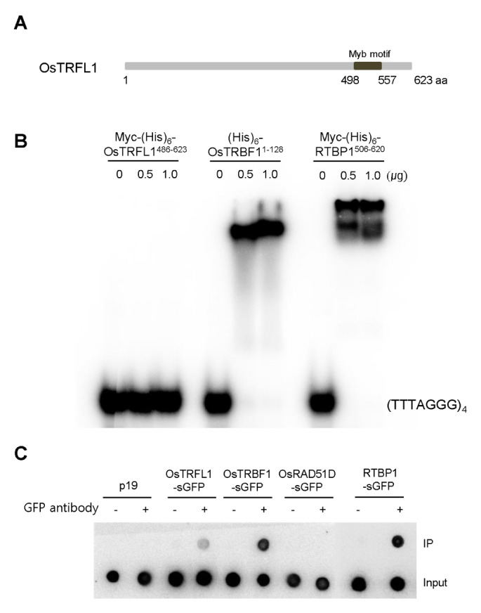 OsTRFL1 is associated with double-stranded telomeric repeats in planta . (A) Schematic representation of rice OsTRFL1. The C-terminal Myb DNA-binding motif is indicated. (B) Gel retardation assay. Different amounts (0, 0.5, and 1.0 μg) of bacterially-expressed Myc-(His) 6 -OsTRFL1 486–623 , (His) 6 -OsTRBF1 1–128 , and Myc-(His) 6 -RTBP1 506–620 fusion proteins, all of which possess the Myb DNA-binding domain, were incubated with 32 P-labeled (TTTAGGG) 4 telomere repeats. After incubating for 10 min on ice, the reaction mixtures were loaded on an 8% non-denaturing polyacrylamide gel. (C) ChIP assay of OsTRFL1. The 35S:OsTRFL1-sGFP , 35S:OsTRBF1-sGFP , 35S:RTBP1-sGFP , and 35S:OsRAD51D-sGFP constructs were introduced into tobacco leaves by Agrobacterium -mediated infiltration. After 2 days of infiltration, nuclear genomic DNA-protein complexes were isolated and subjected to immunoprecipitation with an anti-GFP antibody. The pull-downed DNA was hybridized with a 32 P-labeled (TTTAGGG) 70 telomere repeat probe. IP, immunoprecipitation.