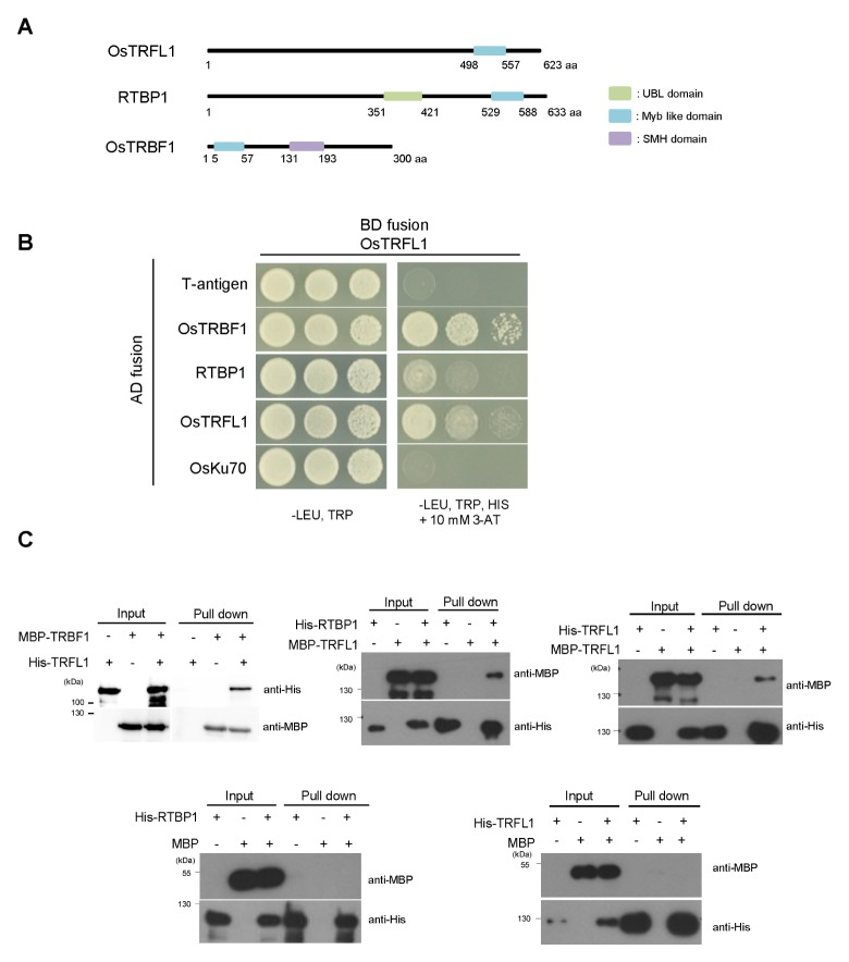 OsTRFL1 interacts with rice DS-TBPs in yeast cells and in vitro . (A) Structural comparison of OsTRFL1, RTBP1, and OsTRBF1. The UBL domain, Myb DNA-binding motif, and SMH domain are indicated. (B) Yeast-two hybrid assay. OsTRFL1 was cloned into the pGBK T7 vector, and OsTRBF1 , RTBP1 , OsTRFL1 , OsKu70 , and T-antigen were cloned separately into the pGAD T7 vector. Each combination of the indicated plasmids was co-transformed into yeast AH109 cells. To test for protein-protein interactions, yeast cells were plated onto two-minus (−Leu/−Trp; left panel) or three-minus (−Leu/−Trp/−His) medium containing 10 mM 3-AT (right panel) and grown at 30°C for 4 days. T-antigen was used as a negative control. (C) In vitro pull-down assay. OsTRFL1, OsTRBF1, and RTBP1 DS-TBPs were expressed as MBP-or (His) 6 -fusion proteins in E. coli . The purified fusion proteins were co-incubated as indicated in the presence of His-affinity matrix. The bound protein was then eluted from the resin and immunoblotted with either anti-MBP or anti-His antibody.