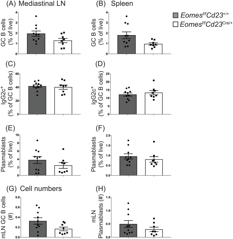 Eomes is not required for germinal center B cell formation or IgG2c isotype switching during influenza infection. Eomes f/f Cd23 cre/+ and littermate controls were infected with HKx31 influenza virus and mediastinal lymph node-derived and splenic B cells were analyzed 8 days post-infection. (A-B) Mature activated B cells (B220 + IgD lo ) were stained to identify germinal center B cells (CD95 hi CD38 lo ). (C-D) The frequency of germinal center B cells that had switched to IgG2c was assessed. (E-F) Frequency of the plasmablast population in either mediastinal lymph nodes (E) or spleen (F). (G-H) Total numbers of germinal center B cells (G) and plasmablasts (H) in the mediastinal lymph node. Data are pooled from 3 experiments, n = 8–10 per genotype. Error bars indicate mean ± SEM. No significant difference was detected using the Mann-Whitney non-parametric test.