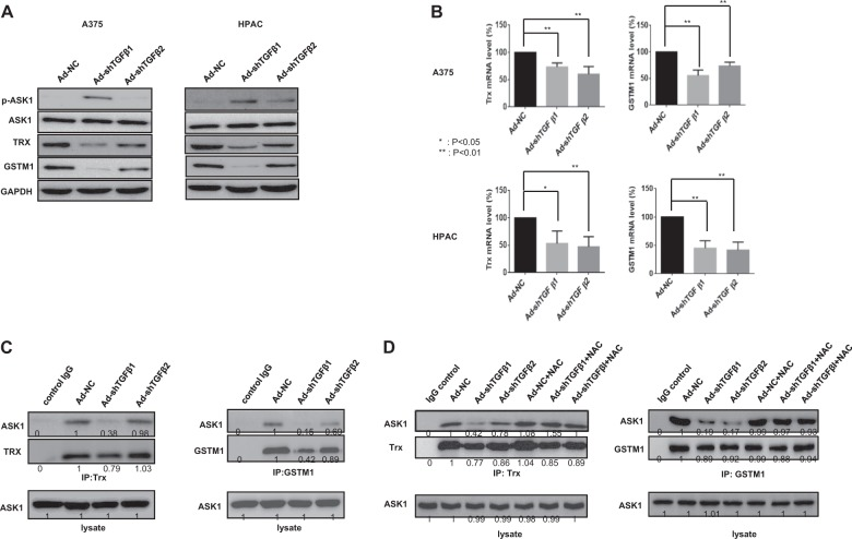Decreases in Trx and GSTM1 expression and the formation of complexes with ASK1 after TGF-β downregulation. a A375 and HPAC cells were infected with adenovirus expressing shTGF-β1 or -β2 at 100 MOI, respectively. After 48 h, the expression levels of p-ASK1, ASK1, Trx, GSTM1 and GAPDH were detected by western blot analysis. b A375 and HPAC cells were infected with adenovirus expressing shTGF-β1 or -β2 at 100 MOI, respectively. After 48 h, the expression levels of Trx and GSTM1 mRNA were assayed by quantitative real-time polymerase chain reaction (qRT-PCR). Error bars represent the standard error from three independent experiments. Asterisks indicate a significant difference compared to each given control (* p