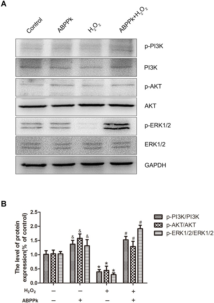 ABPPk treatment activates the PI3K/AKT and ERK1/2 pathways in SCs. (A) SCs were treated with 400 μM H 2 O 2 with or without 0.5 μg/ml ABPPk. The cells were collected and analyzed by Western blot for the expression of p-PI3K and PI3K, p-AKT and AKT, and p-ERK1/2 and ERK1/2. (B) Histogram shows data of p-PI3K/PI3K, p-AKT/AKT, and p-ERK/ERK levels from Western blot analyses. GAPDH was used as the protein loading control and band density normalization. ABPPk vs. control: P