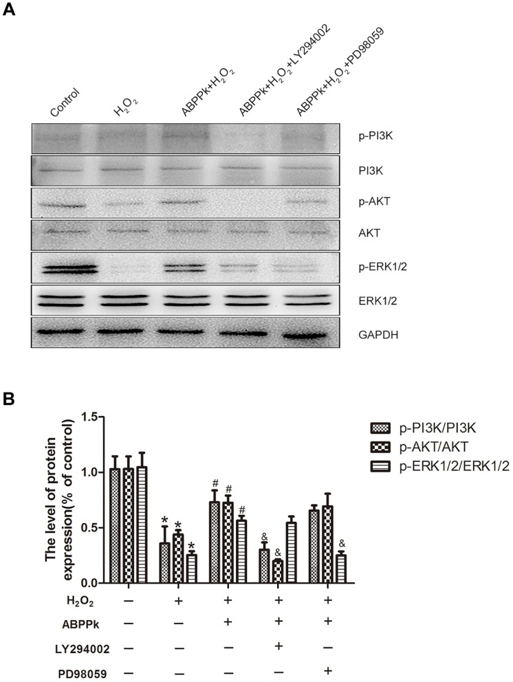 Effects of the LY294002 and PD98059, PI3K inhibitor, and ERK1/2 inhibitor, on oxidative damage attenuated by ABPPk in SCs. (A) Western blot shows the p-PI3K/PI3K, p-AKT/AKT, and p-ERK/ERK in SCs pretreated with LY294002 (10 μM) and PD98059 (10 μM) for 30 min before the treatment of H 2 O 2 (400 μM) and ABPPk (0.5 μg/ml) for 24 h. (B) Densitometric analyses illustrates the results of p-PI3K/PI3K, p-AKT/AKT, and p-ERK/ERK. H 2 O 2 vs control: ∗ P