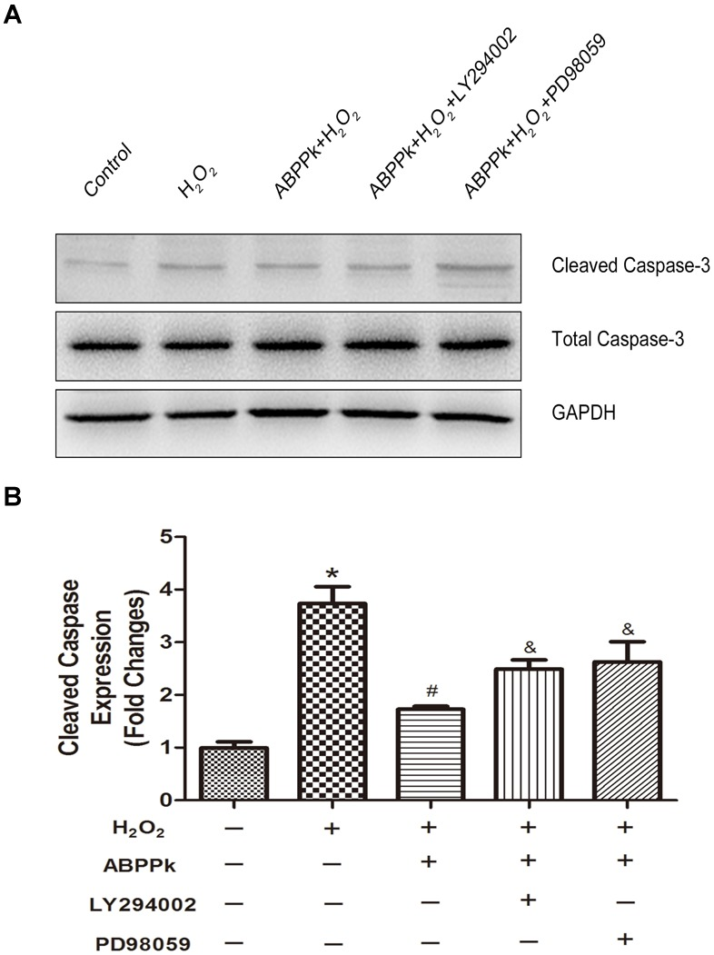 The protective ABPPk on apoptosis induced by H 2 O 2 are partly impaired through the inhibition of the PI3K/AKT and ERK1/2 pathways. (A) Protein expression levels of cleaved caspase-3. (B) Quantification data of apoptotic markers cleaved caspase-3 in each group. H 2 O 2 vs control: ∗ P