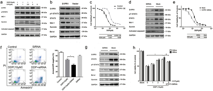S1PR1-STAT3 formed a positive regulatory loop in GC cells and contributed to drug resistance. (A) Expression of indicated genes of SGC7901/DDP cells after treated with different concentrations of S1P and DDP for 24 h was detected by Western blot. (B) Expression of indicated genes of SGC7901 cells transfected with S1PR1 over-expression and empty vectors for 48 h was detected by Western blot. (C) SGC7901 cells transfected with S1PR1 overexpression or empty vector cells were treated with fold diluted DDP for 24 h and the cell viability was detected by MTS method. Data were expressed as mean ± SD, n = 4. (D) Expression of indicated genes of SGC7901/DDP cells transfected with S1PR1 siRNA and mock siRNA for 48 h was determined by Western blot. (E) Cell viability of SGC7901/DDP cells, tested by MTS method. Cells were treated with fold diluted DDP for 24 h with or without S1PR1 knocking down. Data were expressed as mean ± SD, n = 4. (F) Cell apoptosis levels of SGC7091/DDP cells were determined by AnnexinV/PI double staining with FACS after indicated treatment for 24 h. The ratio of double negative population of the cells was presented with mean ± SD, n = 5. *P