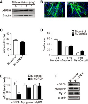Effect of cGPDH on myoblast differentiation cGPDH expression during C2C12 myocyte differentiation. Representative images of MyHC immunofluorescence (B) of C2C12 myocytes transfected with siRNA targeting cGPDH; the fusion index (C) and the distribution of nuclei per myotube (D) were calculated. qRT–PCR (E) and Western blot analysis (F) of myogenin and MyHC in C2C12 myocytes transfected with siRNA targeting cGPDH. Data information: Data are presented as the mean ± s.e.m. Scale bars represent 50 μm in panel (B). In panels (A–F), n = 3. * P