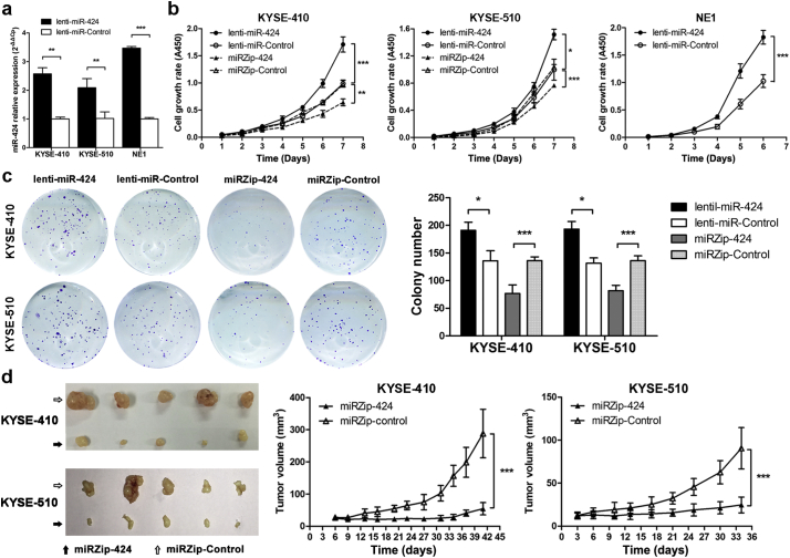 miR-424 promotes ESCC cell proliferation in vitro and in vivo . (a) qRT-PCR analyses showed the relative miR-424 expression levels in KYSE-410 and KYSE-510 ESCC cells and NE1 immortalized esophageal epithelial cells expressing the miR-424 precursor (lenti- miR-424 ) or control vectors. Data are presented as the mean ± SD of three independent experiments. **, p