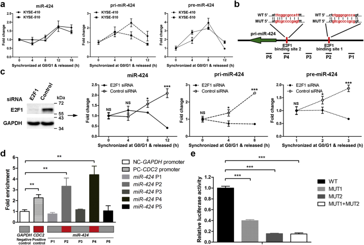 Characterization of the miR-424 promoter and transcriptional regulation of miR-424 by E2F1 during G1/S transition. (a) KYSE-410 and KYSE-510 cells were synchronized in G0/G1-phase by serum starvation and released. qRT-PCR analysis shows the expression kinetics of miR-424 , pri- miR-424 , and pre- miR-424 in KYSE-410 and KYSE-510 cells after release from G0/G1-phase for the indicated time points. Data are presented as the mean ± SD of three independent experiments. (b) A schematic illustration shows two binding sites for E2F1 in the putative promoter region of the miR-424 gene. Specific primers surrounding the promoter were designed. A fragment of the promoter region encompassing the wild-type or mutant E2F1 binding sites was cloned into a reporter vector. (c) Expression of E2F1 was silenced using siRNA (left panel). qRT-PCR showed changes in the expression kinetics of miR-424 , pri- miR-424 , and pre- miR-424 after knocking down E2F1 in KYSE-410 cells during G1/S transition (right panel). Data are presented as the mean ± SD of three independent experiments. *, p